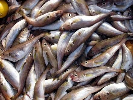 Kalanpoikaskasvatus Olli Kauppinen